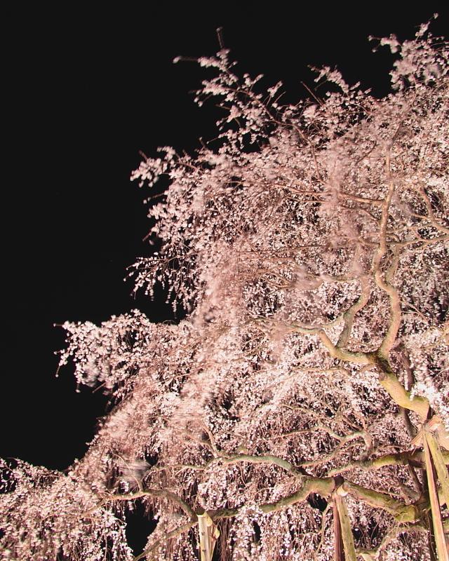 枝垂れ桜揺れる