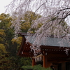 熱田神宮にて・・・枝垂桜