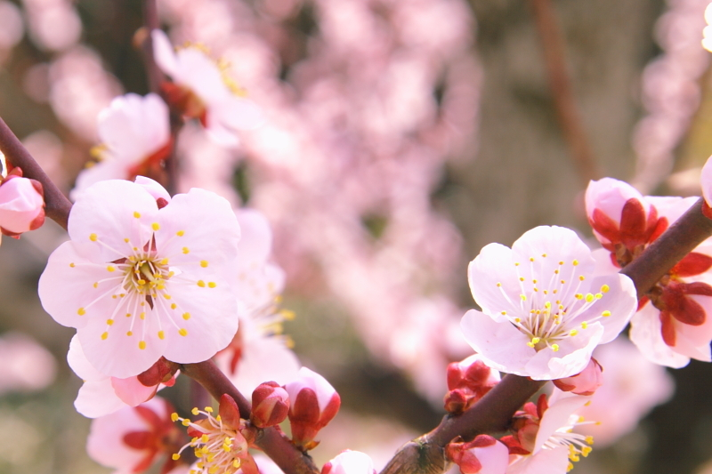 plum-blossom of kuragaike