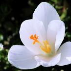 CANON Canon EOS 50Dで撮影した植物(Crocus)の写真(画像)