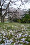 帰り道フォト~花弁絨毯~