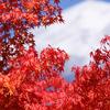 紅葉する富士の山