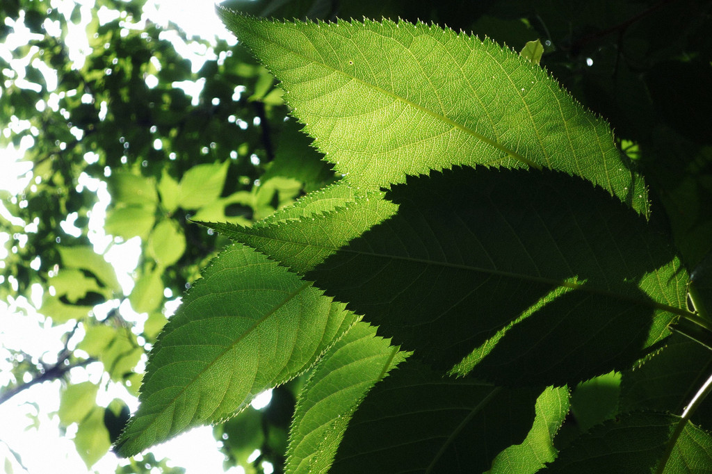 Leaf-vein