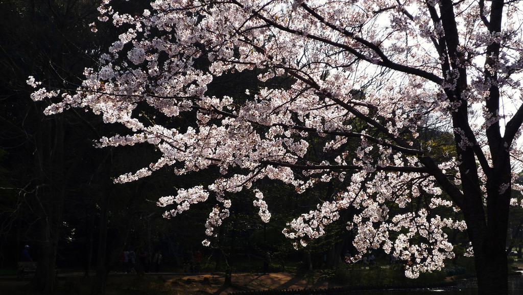 Sakura-park