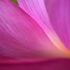 蓮の花咲く頃 2