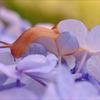 紫陽花に誘われて 2