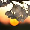 落陽とソメイヨシノ