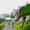 花しょうぶ園は雨でした 1