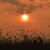 夕日とエノコログサと