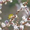 梅の花咲く頃 2