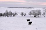 雪上の放牧
