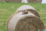 牧草ロールの上で②