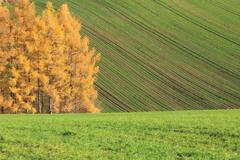 落葉松と小麦畑