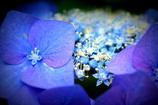 団地の紫陽花
