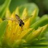 小さい蜂?