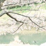 川辺と桜と