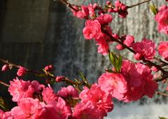 花桃の里 2