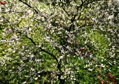 花桃の里 3