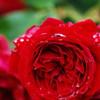 raindorp on the rose