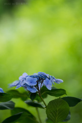 まだ紫陽花