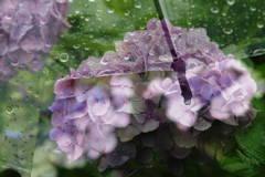 梅雨と紫陽花