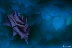 月明かりのバラ1