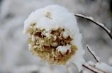 雪中枯れ花