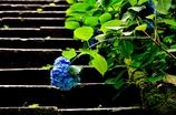 梅雨紫陽花