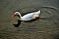 遊泳アヒル
