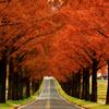 紅葉のマキノのメタセコイア並木 3-3