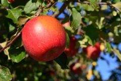 気(木)になる林檎