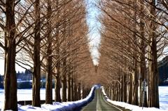 春へ続くメタセコイア並木 Ⅵ
