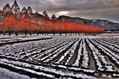 冬田のメタセコイア並木
