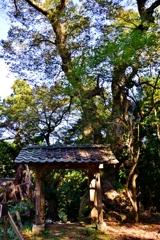 菅山寺の樹齢約1000年を超える巨木