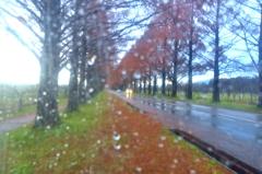 雨滴のメタセコイア並木