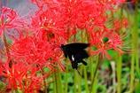 赤花に魅せられて