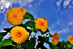 天空の向日葵