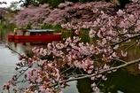 長閑な花見