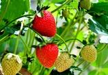 我が家の庭に待望のイチゴが・・・