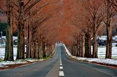 冬到来のメタセコイア並木