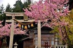 能登島先崎神社 桜