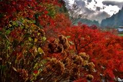 枯れ紫陽花と紅葉