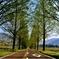 芽吹きのメタセコイア並木道