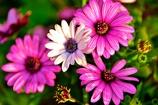 我が家の花 デモルフォセカ