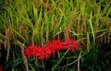 秋の畦に稲穂と曼珠沙華