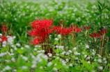 秋の畦にソバの花と曼珠沙華