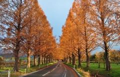 冬日のメタセコイア並木