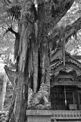 大杉神社 気根に狛犬吽形