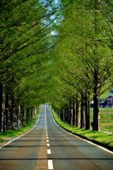 続く新緑並木