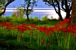 湖岸の彼岸花
